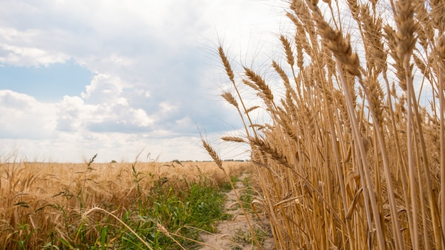 Getreidefelder, goldene weizenähren.