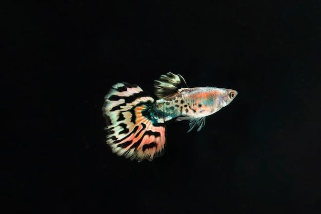 Getrennter schöner betta fischschwarzhintergrund