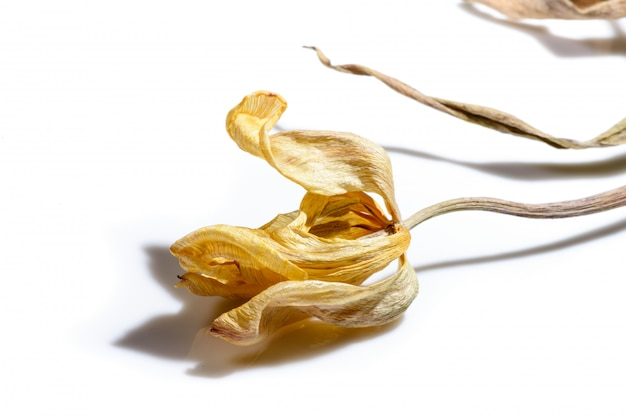 Getrocknete gelbe tulpenblume über weißem hintergrund. verwelkte blume.