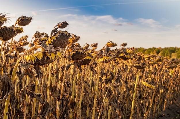 Getrocknete reife sonnenblumenköpfe, ernten warten auf die ernte