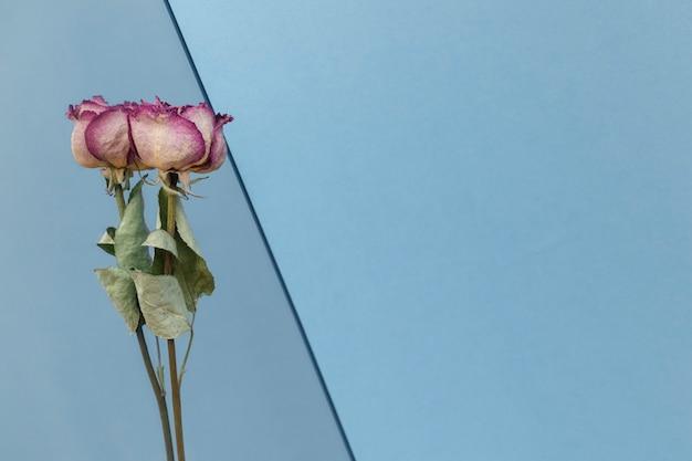 Getrocknete rosa rosen auf blauem hintergrund