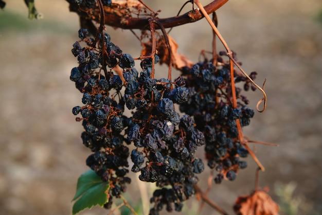 Getrocknete schwarze trauben im weinberg