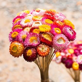 Getrocknete strohblume oder ewig, helichrysum bracteatum