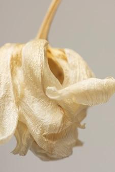 Getrocknete tulpenblume auf grauem hintergrund