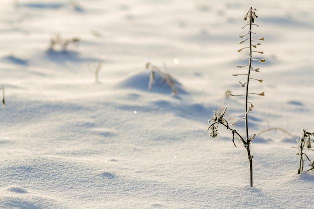 Getrocknete verwelkte kräuter pflanzen unkraut mit schnee bedeckt