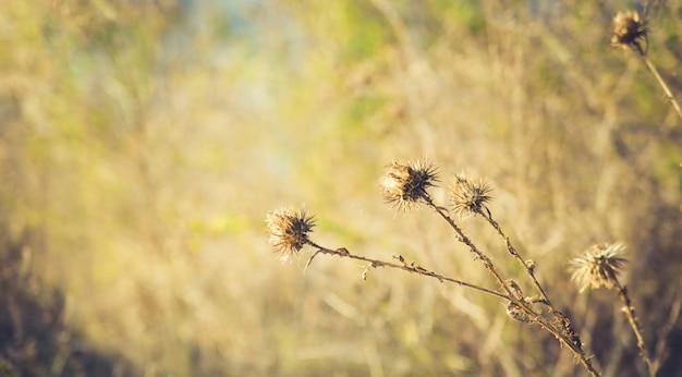 Getrockneter dorn auf natürlichem unscharfem hintergrund.