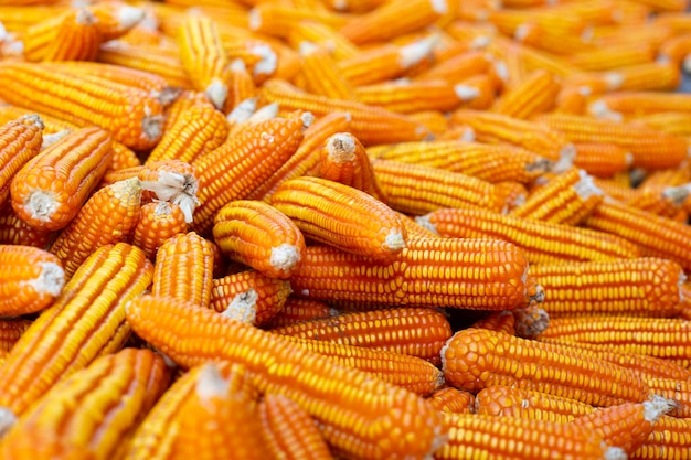 Getrockneter maishintergrund.