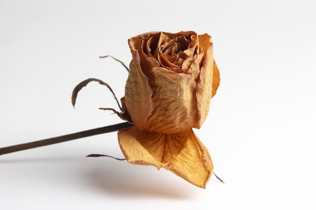 Getrocknetes rosenblatt auf weiß