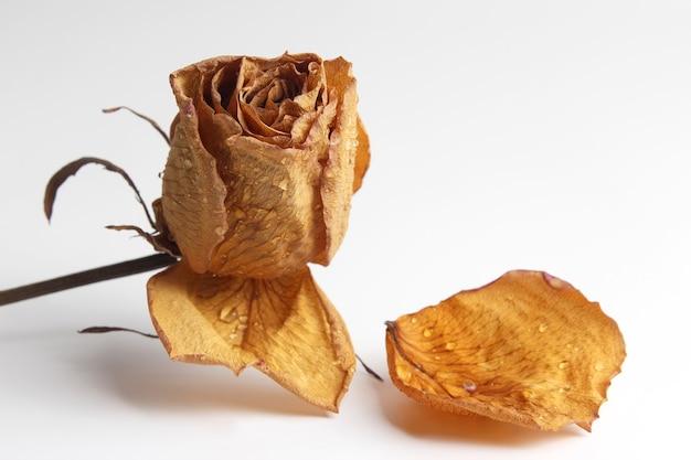 Getrocknetes rosenblatt in einem wassertropfen auf weißem hintergrund