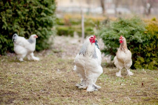 Gewachsene gesunde weiße hühner auf grünem gras draußen im ländlichen hof auf altem hölzernem scheunenwandhintergrund