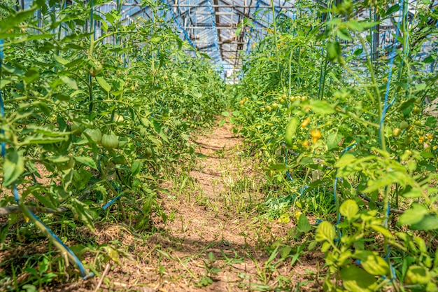 Gewächshaus auf dem bauernhof für den anbau von bio-gemüse