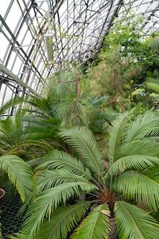 Gewächshaus oder gewächshaus mit immergrünen pflanzen exotische palmen tropische bäume
