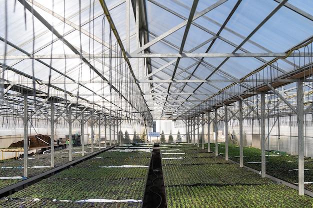 Gewächshaus und landwirtschaftliches unternehmen bauen pflanzen in einer industriellen gärtnerei für blumengemüsesämlinge an