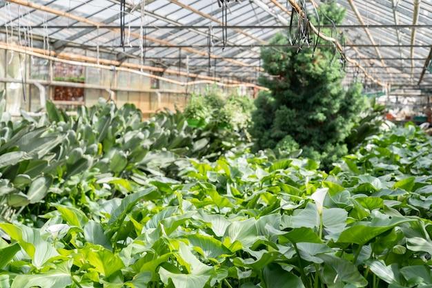 Gewächshausinnenraum mit grünen frischen pflanzen für den indoor-gartenbau in gewächshäusern