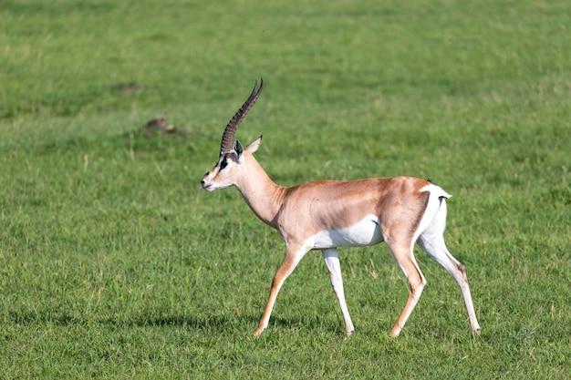 Gewähren sie gazellen auf einer grünen weide in einem nationalpark in kenia