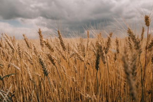 Gewitter hurrikanwolken feld landwirtschaftlichen nutzpflanzen weizen