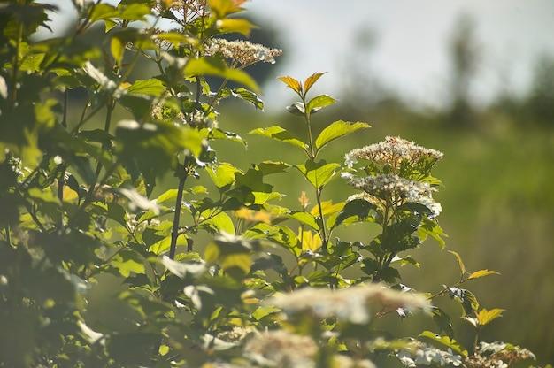 Gewöhnliche einfache halbinsel italica, mit breiten und flachen blättern und kleinen weißen blüten. haus der blattläuse.