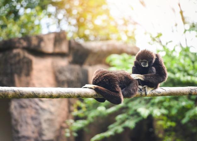 Gewöhnliche gibbons