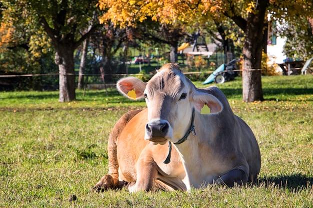 Gewöhnliche italienische kuh liegt auf dem gras nahe dem bauernhof