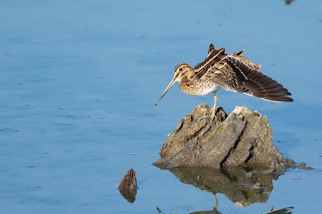 Gewöhnliche schnepfe thront tagsüber auf einem felsen am meer