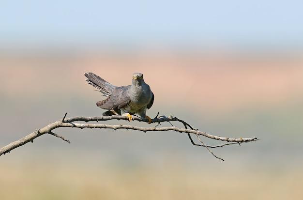 Gewöhnlicher kuckuck sitzt auf horizontalem ast auf verschwommenem beige-blau