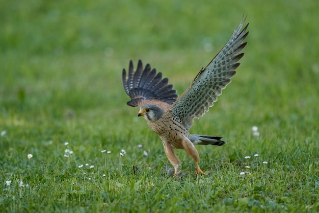 Gewöhnlicher turmfalke. falco tinnunculus kleine greifvögel