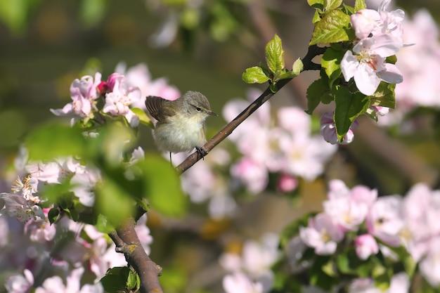 Gewöhnlicher zilpzalp (phylloscopus collybita) im weichen sonnenlicht auf den zweigen eines blühenden wilden apfelbaums
