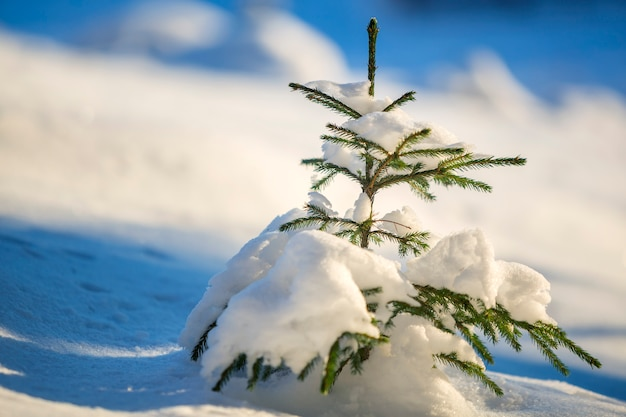 Gezierter baum mit den grünen nadeln bedeckt mit tiefem schnee.