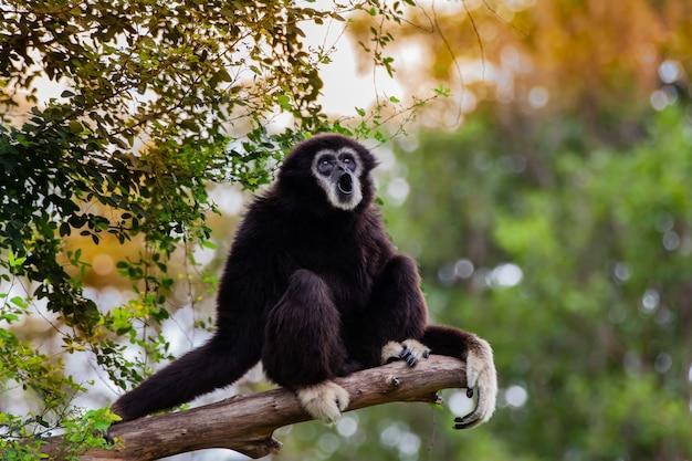 Gibbon auf dem baum im zoo.