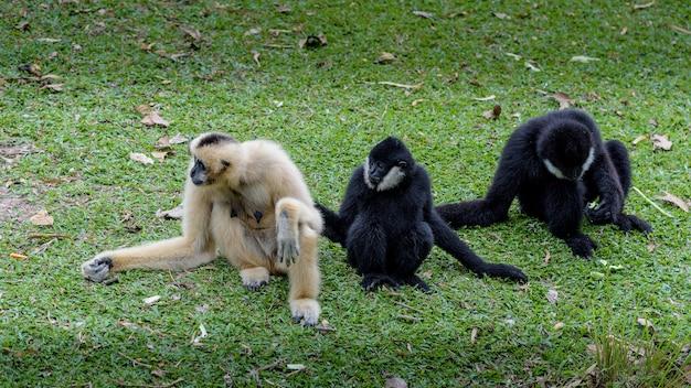 Gibbon auf dem boden bei tageslicht