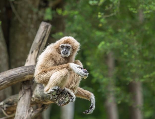Gibbon im dschungelwald
