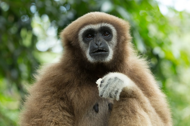 Gibbon nahaufnahme gesicht im zoo