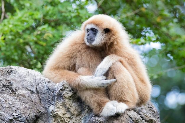 Gibbon sitzt auf felsen