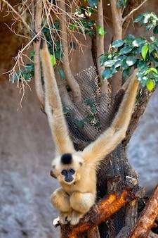 Gibbon von goldenen wangen, nomascus gabriellae