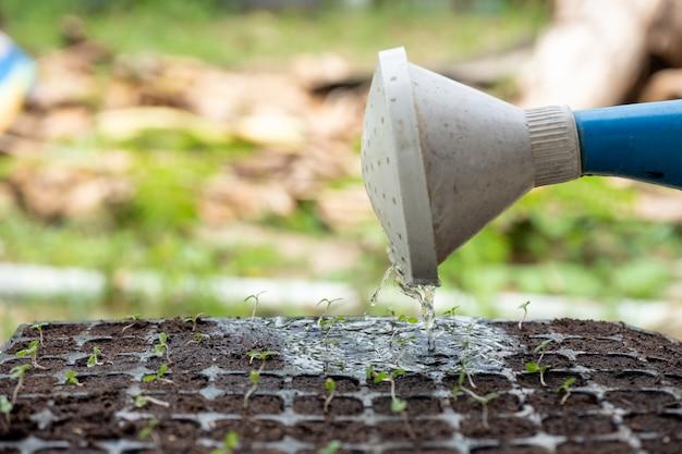 Gießkanne, die wasser auf schössling in behälter gießt