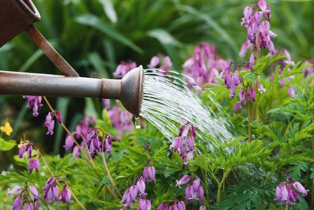 Gießkanne gießt wasser auf blühende pazifische blutende herzblumen im garten