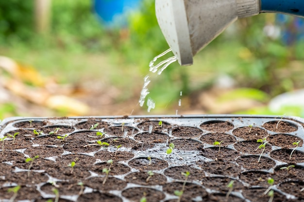 Gießkanne gießt wasser auf schössling im tablett