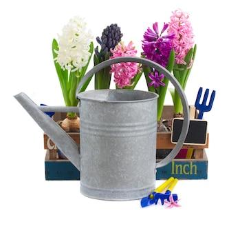 Gießkanne mit hyazinthenblumen lokalisiert auf weiß
