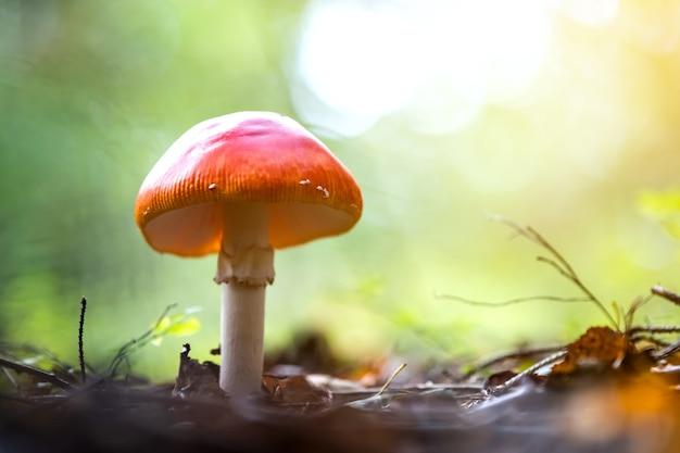 Giftiger pilz des roten fliegenpilzpilzes, der im herbstwald wächst.