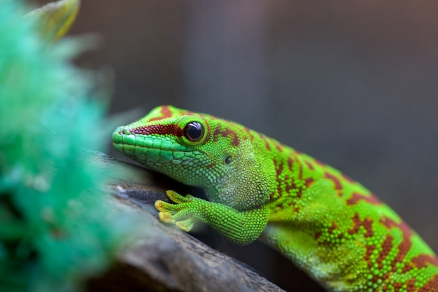 Giftiges grünes sitzen felzuma madagaskars oder des tagesgecko, das auf einem baumast in einem terrarium in einem haustierspeicher sitzt