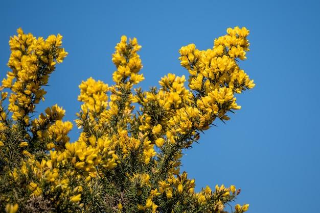 Ginster (ulex europaeus) platzt im frühling in blüte