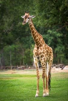 Giraffe auf der natur im freien