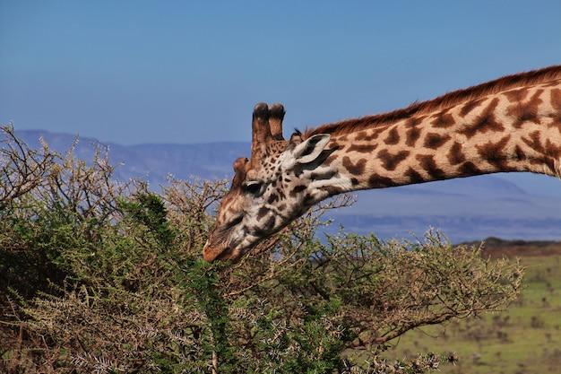 Giraffe auf safari in kenia und tansania, afrika