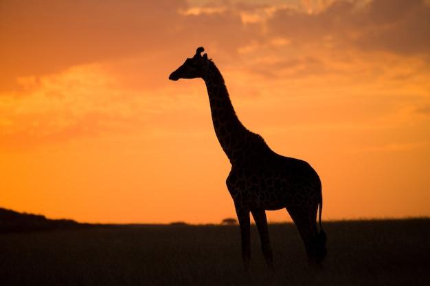 Giraffe bei sonnenuntergang in der savanne.