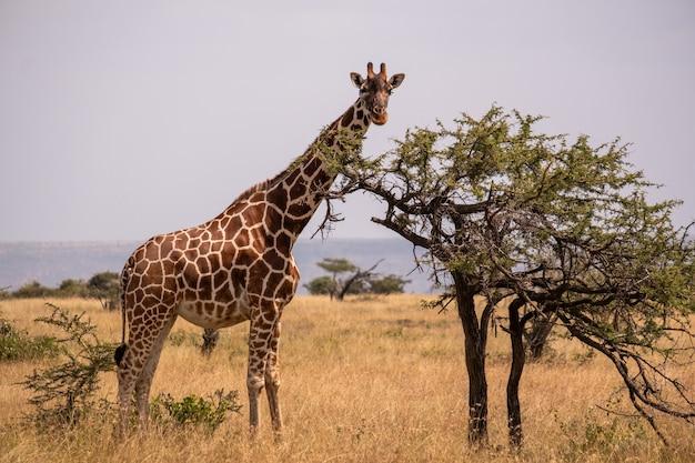 Giraffe, die durch einen baum in der mitte des afrikanischen dschungels in samburu, kenia weidet