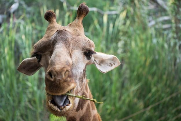 Giraffe, die grüne blätter im wald isst