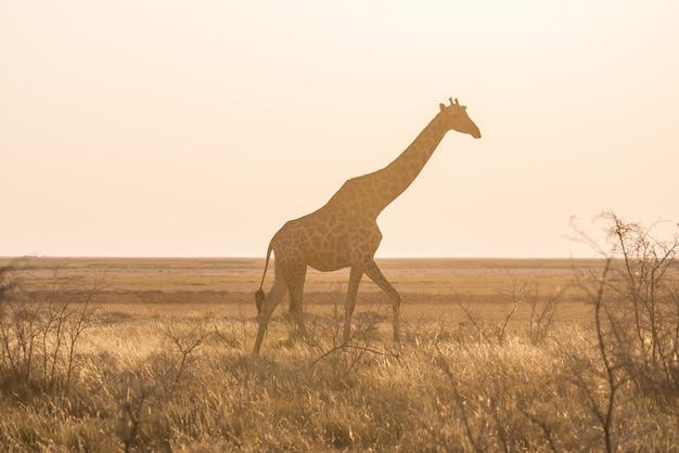 Giraffe, die in den busch auf der wüstenwanne bei sonnenuntergang geht. wildlife safari im etosha national park, dem hauptreiseziel in namibia, afrika. profilansicht, szenisches weiches licht.