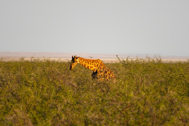 Giraffe, die winzige grüne akazienblätter in okaukuejo, etosha-nationalpark, namibia isst