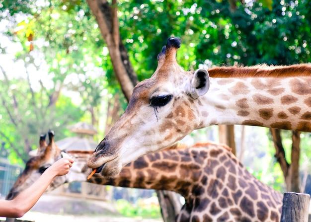Giraffe essen blätter.