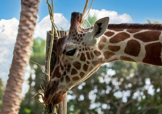 Giraffe frisst gras. das porträt einer giraffe (giraffa camelopardalis) ist ein afrikanisches paarhufersäugetier. lustige giraffe, die aus den wolken kommt. netter giraffenkopf auf blauem himmelshintergrund sieht glücklich aus
